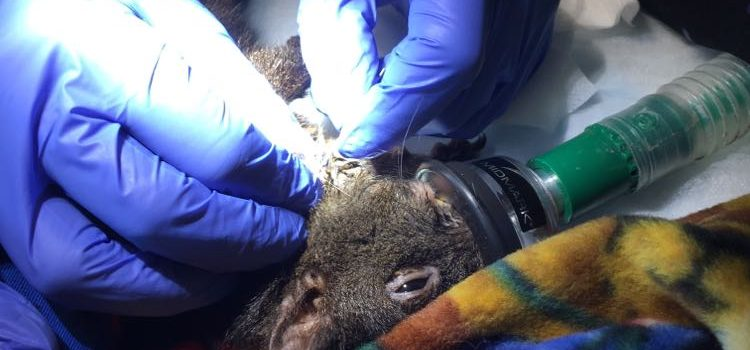 Can You Help? Female Squirrel shot, in serious condition!