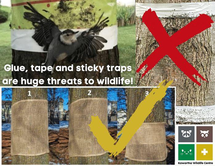 sticky traps kill wildlife (2)