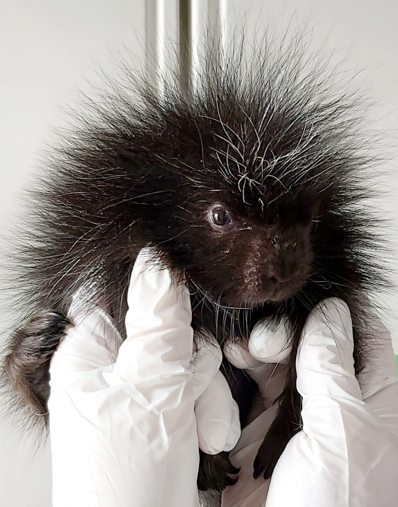 World Porcupine Day is July 2nd!