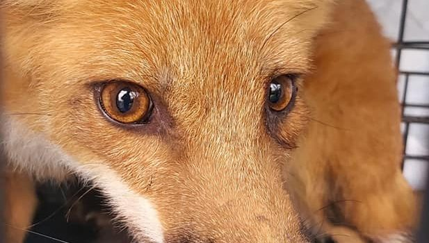 Millie the Fox Goes Free!