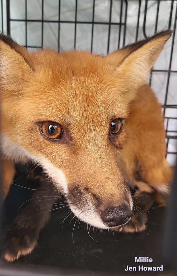 Message from Jennifer Howard; thanks for attending the seminar on foxes!