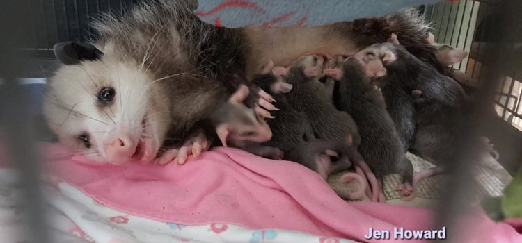 National Opossum Day