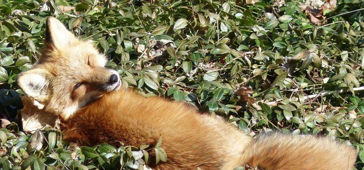 National Fox Day