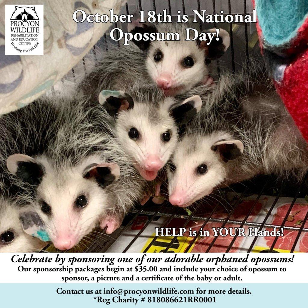National-Opossum-Day